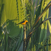 A male Hooded Oriole perched at the top of a Palm tree - this image was taken through the glass of a window, in a fifth floor office, at my workplace.