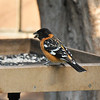 A male Black-headed Grosbeak eating sunflower seeds from my platform feeder, along with  a male and female House Finch.
