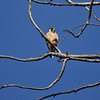 A juvenile Peregrine Falcon