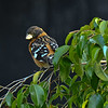 A male Black-headed Grosbeak perched in my Ficus tree