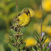A female Lesser Goldfinch perched on the stem of a wildflower