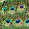 A close up image of the iridescent, colorful eye patterns of a male Indian Peacock tail feathers.