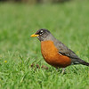 An American Robin looking for worms in the grass