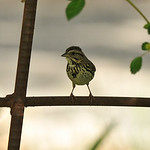 A Song Sparrow perched on a rusted rose trellis