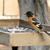 A male Black-headed Grosbeak perched on my platform feeder