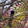 A male Indian Peacock perched in a blooming Pink Trumpet Tree