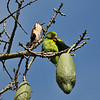 A wild Yellow-chevroned Parakeet preening its feathers while perched in a Floss Silk tree