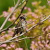 A singing Song Sparrow