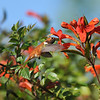 A male Allen's Hummingbird sipping nectar from a Trumpet flower