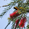 A male Hooded Oriole getting ready to sip nectar from a Bottlebrush bloom