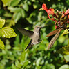 A female Anna's Hummingbird preparing to land on a leaf