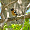A male Black-headed Grosbeak perched in a Pecan tree