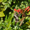 A female Anna's Hummingbird sipping nectar from a Trumpet flower