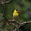 A male American Goldfinch with his breeding plumage coming in. This species is a migratory bird for my area.