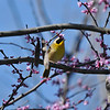 A male Common Yellowthroat Warbler perched in a Rosebud tree