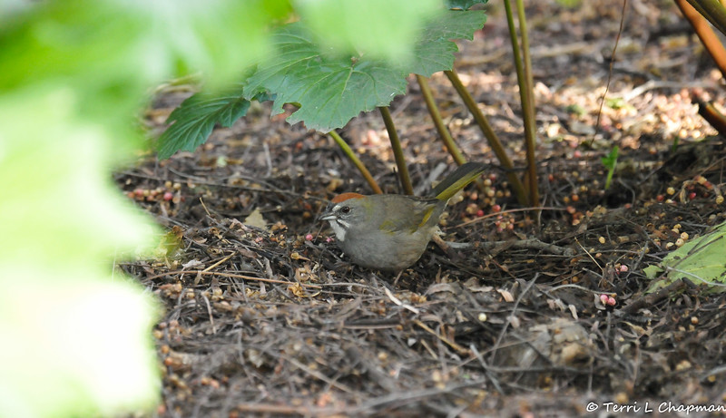 "A striking Green-tailed Towhee scratching for food under the leaf litter debris. This bird is uncommon for the Los Angeles area, so it is classified as a ""rare bird"" sighting."