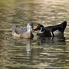 A male and female Wood Duck. The Wood Duck is one of the most stunningly beautiful of all waterfowl. Males are iridescent chestnut and green, with ornate patterns on nearly every feather; the elegant females have a distinctive profile and delicate white pattern around the eye. These birds live in wooded swamps, where they nest in holes in trees or in nest boxes put up around lake margins. They are one of the few duck species equipped with strong claws that can grip bark and perch on branches.