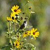 A Song Sparrow, perched on the stem of a sunflower, and singing its song
