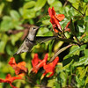 A female Anna's Hummingbird hovering near a Trumpet flower