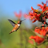 A male Allen's Hummingbird approaching a Trumpet flower
