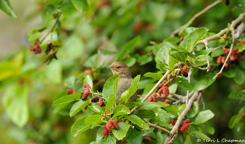 A California Towhee perched in a Mulberry tree
