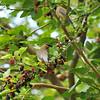 Two Cedar Waxwings in a Mulberry tree