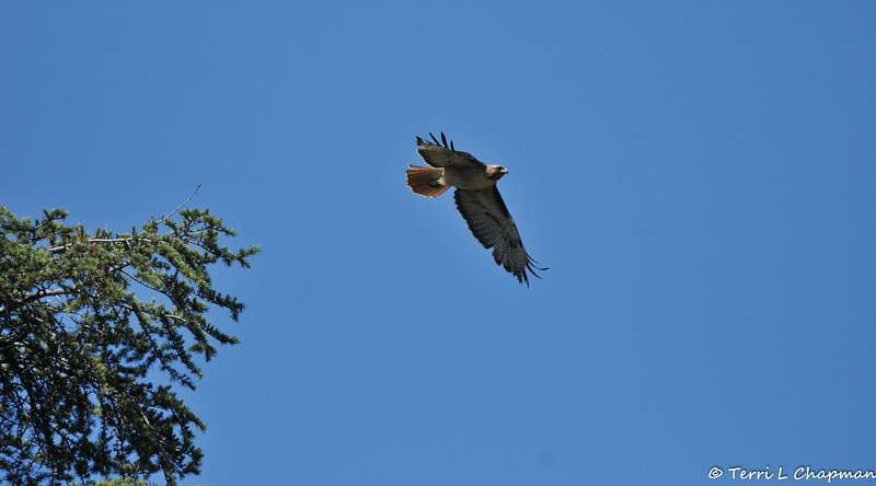 A Red-tailed Hawk taking flight after being harassed by two crows and a Northern Mockingbird.