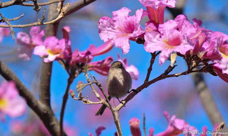 A female Bushtit perched in a blooming Trumpet tree