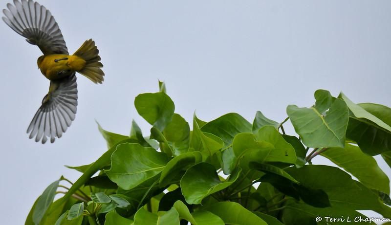 A male Hooded Oriole taking flight