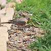 An American Robin attempting to eat a large grub