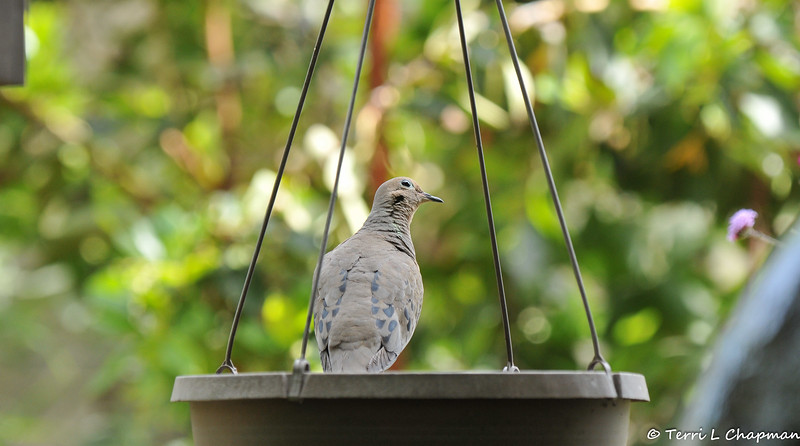 A Mourning Dove perched on the edge of an empty flower basket
