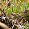 A fledgling California Towhee