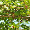 A wild Red-crowned Parrot in a Mulberry tree