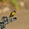 "A male Lesser Goldfinch perched on ""Rain Bird"" sprinkler"
