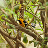 A male Hooded Oriole drying off after taking a bath in my backyard water fountain.