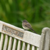 A fledgling Black Phoebe perched on a bench