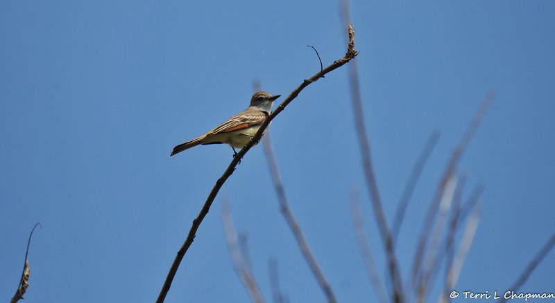 An Ash-throated Flycatcher