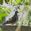 A fledgling Mourning Dove perched on the wall in my backyard.