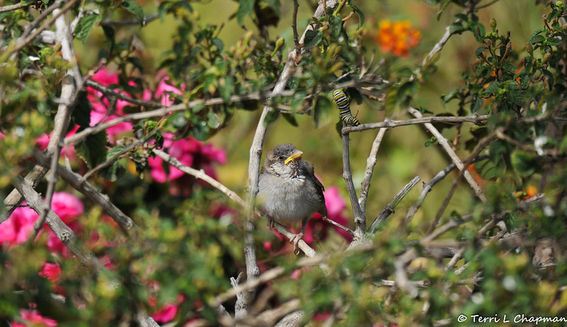 A fledgling House Sparrow perched on a Lantana bush. Notice the Monarch caterpillar?