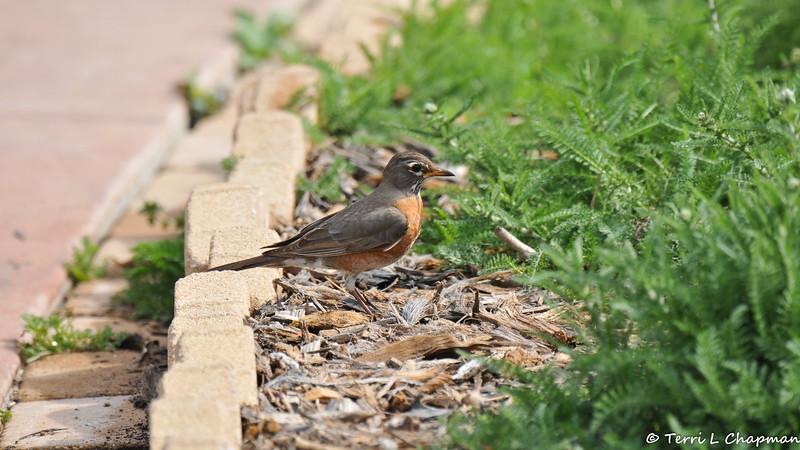 An American Robin