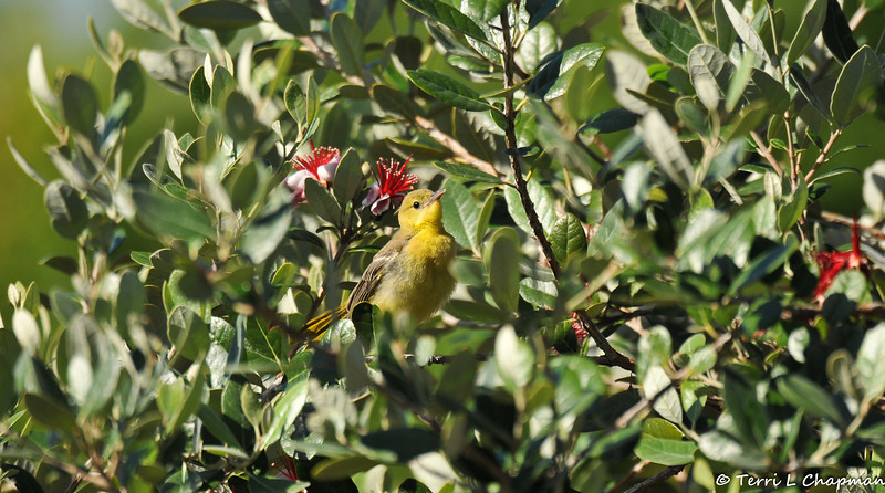 A fledgling Hooded Oriole in a Guava tree