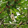 A Cedar Waxwing in a Mulberry tree