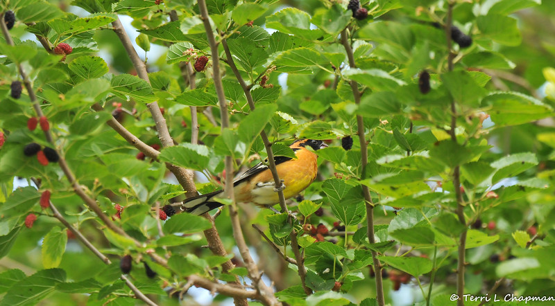 A male Black-headed Grosbeak in a Mulberry tree