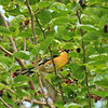 A male Black-headed Grosbeak in a Mulberry tree