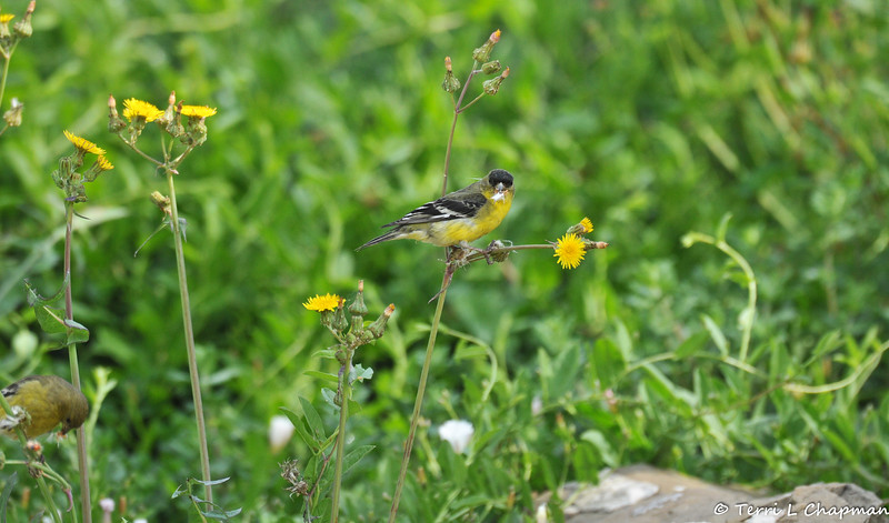 A male Lesser Goldfinch eating the seeds from a dandelion. Most people consider dandelions weeds, and they pull them out of their garden or spray chemicals to kill them. But, dandelions are a favored food source for small birds, so please consider keeping some in your garden to attract these colorful birds.