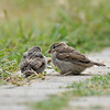 Two fledgling House Sparrows