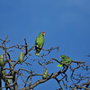 Wild Red-crowned Parrots perched at the top of a Silk Floss tree