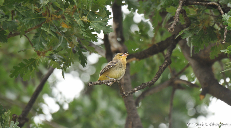 A fledgling Bullock's Oriole chattering to its parents