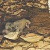 Five owlets (Barn Owls) in their nest located in the side of a Palm Tree. Their mother was sleeping close by in another Palm Tree.