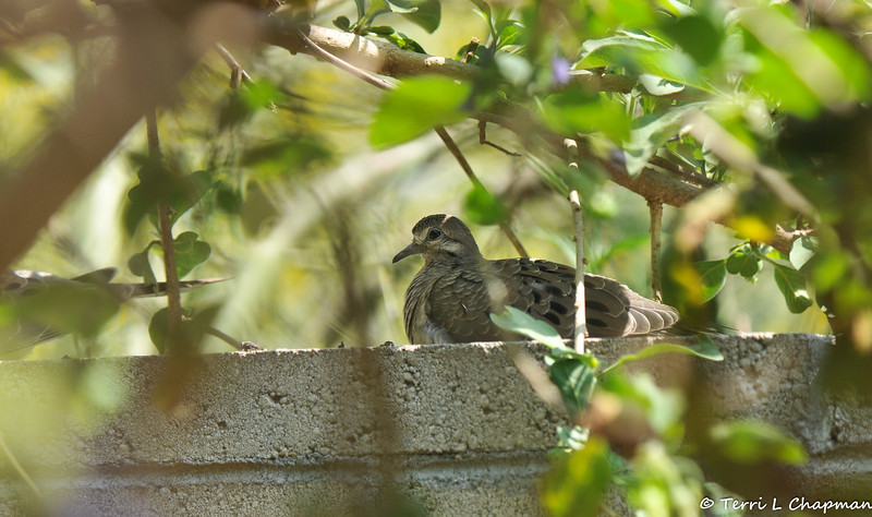 A fledgling Mourning Dove resting on the wall in my backyard.